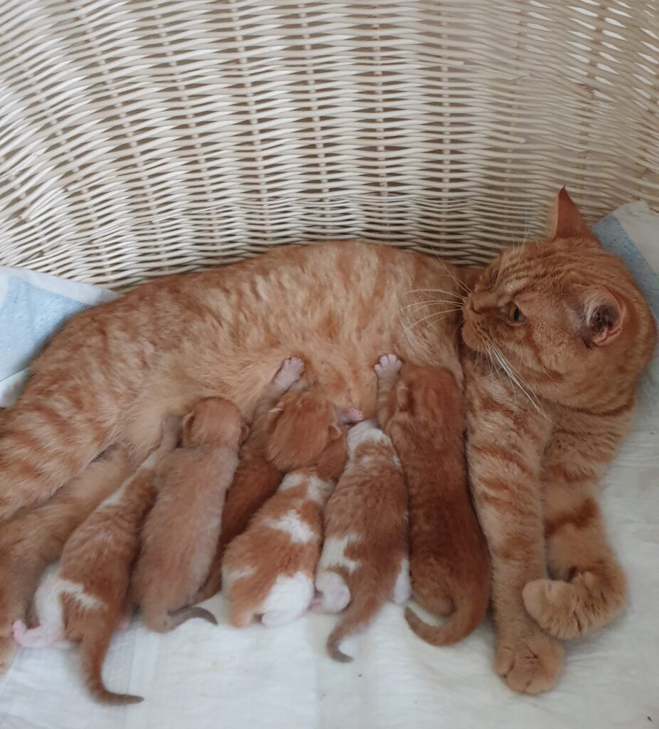 Mamy kocięta!!!- narodziny miotu J