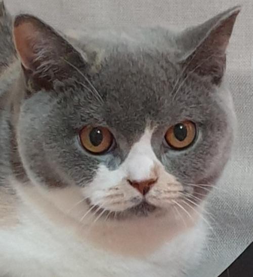Międzynarodowa Wystawa Kotów Rasowych Dopiewo-10-11/10/2020